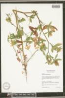 Image of Trifolium alexandrinum