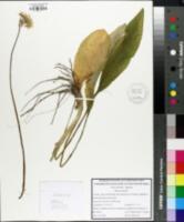 Allium ursinum image
