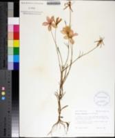 Image of Sabatia grandiflora