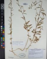 Clarkia exilis image