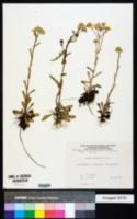 Senecio leucanthemifolius subsp. vernalis image