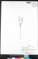 Githopsis pulchella subsp. campestris image