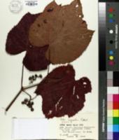 Image of Vitis coignetiae