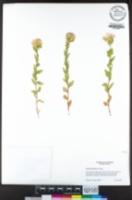 Brickellia greenei image
