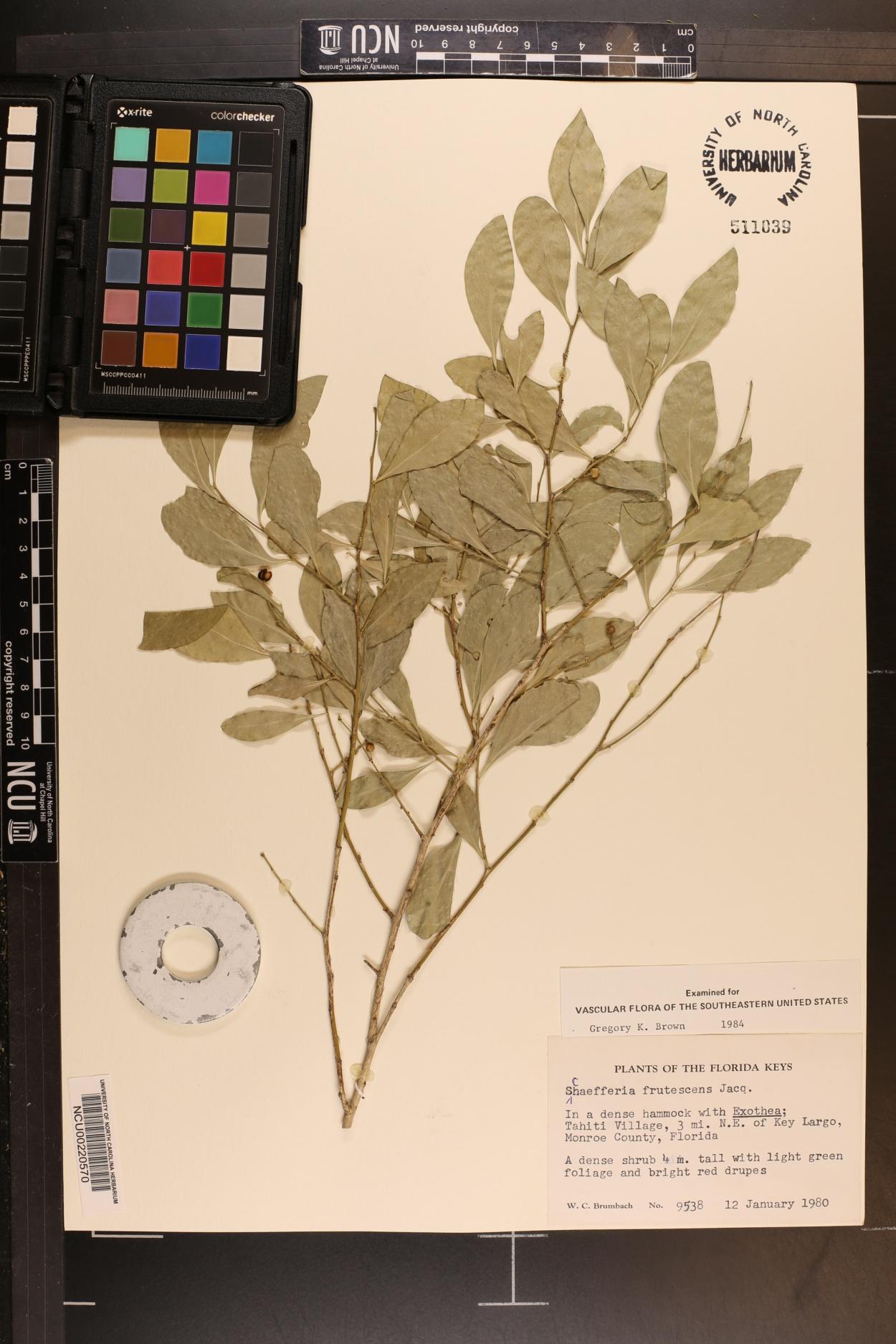Schaefferia image