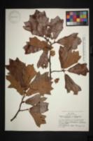 Image of Quercus brittonii