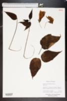 Image of Malvastrum grandiflorum