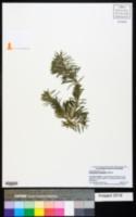 Image of Podocarpus gnidioides