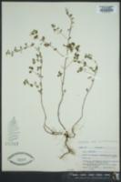 Clinopodium nepeta subsp. nepeta image