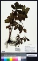 Sanicula chinensis image