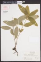 Apocynum cannabinum image