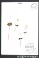 Listera smallii image
