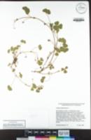 Trifolium subterraneum image
