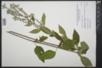 Scutellaria incana image