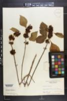 Callicarpa americana image