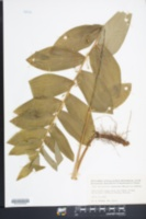 Image of Polygonatum commutatum