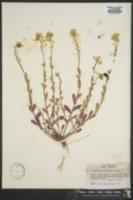 Lesquerella densipila image