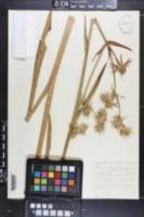 Eryngium aquaticum var. floridanum image