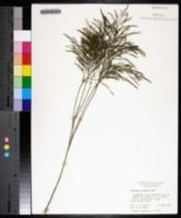 Asparagus virgatus image
