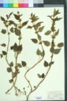 Lamium galeobdolon image