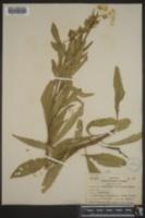 Image of Oenothera canovirens