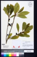 Osmanthus americanus image