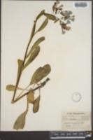Myosotis virginiana image