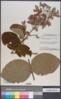 Image of Banisteriopsis megaphylla