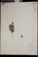 Myriopteris clevelandii image