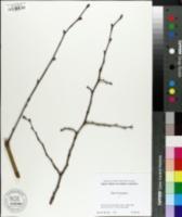 Tilia × europaea image