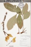 Image of Lonchocarpus heptaphyllus