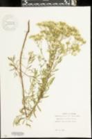 Image of Eupatorium cuneifolium