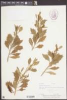 Baccharis halimifolia image