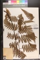 Image of Alsophila acaulis