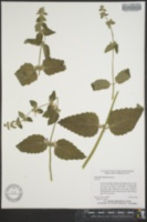 Image of Stachys rigida