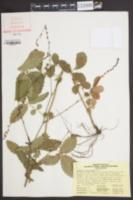 Image of Agrimonia microcarpa