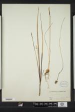 Allium canadense image