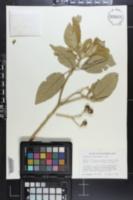 Solanum erianthum image