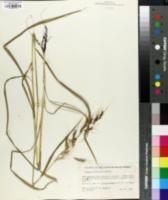 Image of Sorghum versicolor