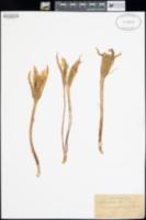 Epiphyllum strictum image
