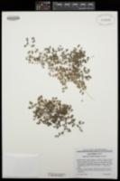 Euphorbia setiloba image