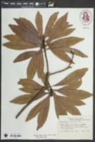 Image of Morella rubra