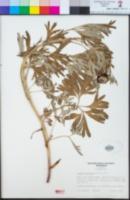 Paeonia californica image