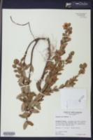 Image of Ascyrum crux-andreae