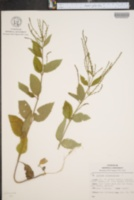 Image of Junellia selaginoides