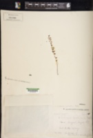 Image of Lindsaea pulchella