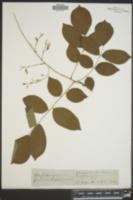 Image of Cladrastis tinctoria
