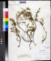 Image of Conradina verticillata
