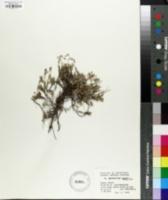 Image of Helianthemum alpestre