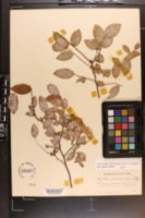 Image of Vaccinium floridanum